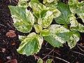 Hydrangea petiolaris 2017-05-07 0017.jpg