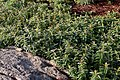 Hypericum calycinum 3zz.jpg