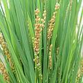 IMG 7259-Oryza sativa ssp. brevis.jpg
