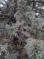 Ice Storm 2013, Guelph 05.jpg