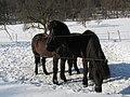 Iceländ Ponnys - panoramio.jpg