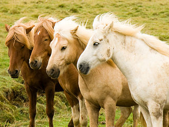 Palomino - Left to right: two chestnuts with flaxen manes, a palomino, and a gray