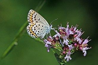 Plebejus idas - Image: Idas blue (Plebejus idas baldur) female underside Bulgaria