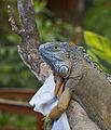 Iguana (Iguana Iguana), Icod de los Vinos, Tenerife, España, 2012-12-13, DD 01.jpg