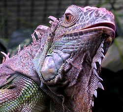 Iguana iguana close up small.jpg