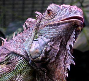 Iguana iguana close up small