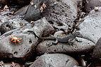Iguana marina (Amblyrhynchus cristatus), isla Lobos, islas Galápagos, Ecuador, 2015-07-25, DD 44.JPG