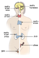 Illu endocrine system heb.PNG