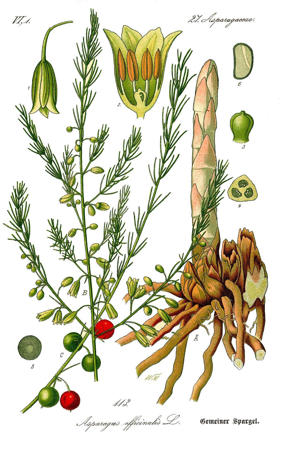 Asparagus officinalis wikipedia for Bacche rosse nomi
