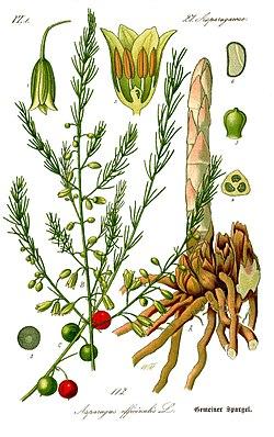 250px Illustration Asparagus officinalis0b Asparagus & Cancer True or False