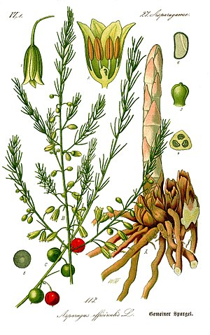 Asparagus - German botanical illustration of asparagus