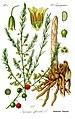 English: Name:Asparagus officinalis