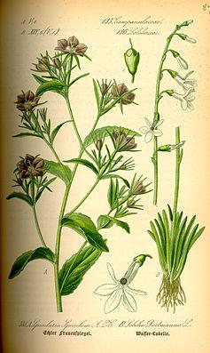 Illustration von Legousia speculum-veneris mit radiärsymmetrischen Blüten, und Lobelia dortmanna mit zygomorphen Blüten.