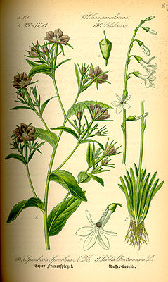 Illustration von Legousia speculum-veneris (links) mit radiärsymmetrischen Blüten, und Lobelia dortmanna (rechts) mit zygomorphen Blüten.