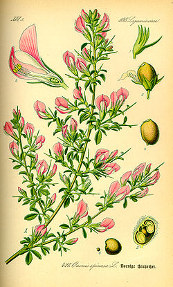 Illustration Ononis spinosa0.jpg