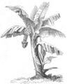 Illustrirte Zeitung (1843) 01 010 3 Der Zwerg-Pisang (Musa cavendishii).PNG