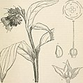 "Image from page 728 of ""The vegetable kingdom - or, The structure, classification, and uses of plants, illustrated upon the natural system"" (1846) (14581402599).jpg"