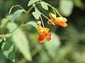 Impatiens capensis SCA-5736.jpg