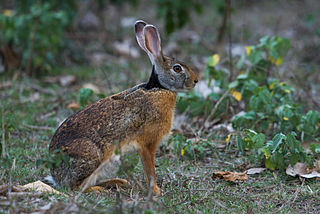 Indian hare species of mammal