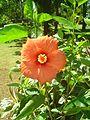 Indian hibiscus.jpg