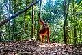 Indonesia - Bukit Lawang (25950056133).jpg