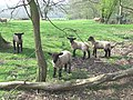 Inquisitive Lambs, near Hartsgreen, Shropshire - geograph.org.uk - 401369.jpg