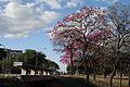 Ipê-roxo em Brasília 10.jpg