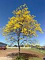 Ipê amarelo - panoramio (4).jpg