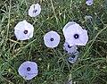Ipomoea ternifolia (25086671852).jpg