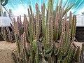 "Iran-qom-Cactus-The greenhouse of the thorn world گلخانه کاکتوس ""دنیای خار"" در روستای مبارک آباد قم- ایران 23.jpg"
