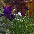 Iris Flower in Full Bloom 03.jpg