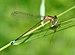 Ischnura elegans qtl4.jpg