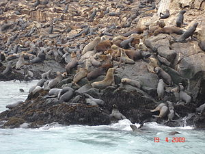 Callao - Sea lions in The Palomino Islands.
