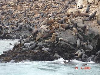 Callao - Sea lions in The Palomino Islands.