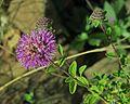 J20161013-0008—Monardella villosa ssp franciscana—RPBG (30436124651).jpg