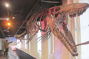 Academy of Natural Sciences of Drexel University - A 43 ft. (13 m) complete fossil specimen of Mosasaur species Tylosaurus proriger (with a human for scale) is on display.