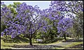 Jacaranda in Grafton Park-3 (22957153312).jpg
