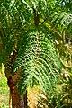 Jacaranda mimosifolia in Jardin des Plantes de Toulouse 02.jpg