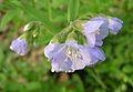 Jacobs Ladder, Greek Valerian (Polemonium reptans) - Flickr - Jay Sturner.jpg