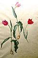 Jacopo Ligozzi Tulipa Gesneriana.jpg