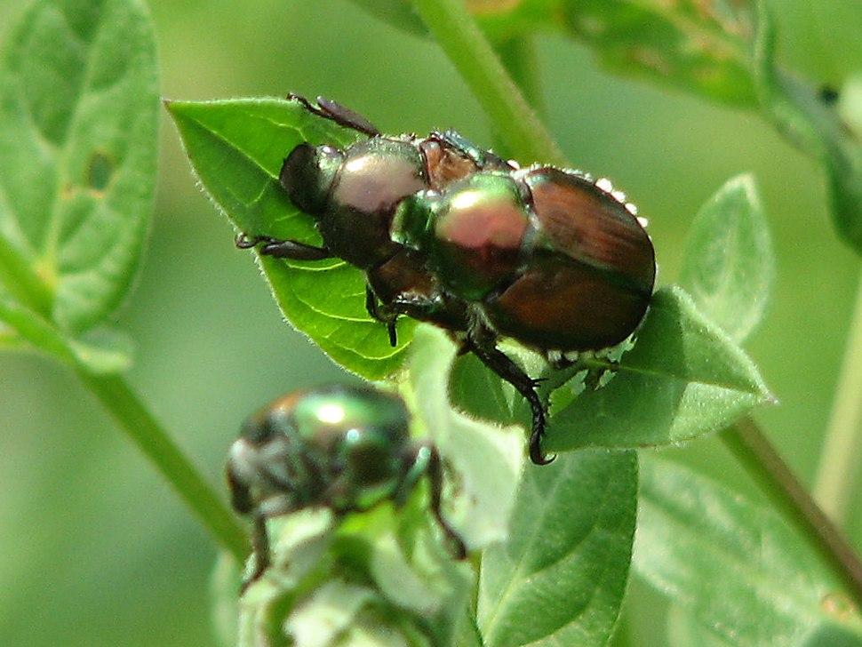 Japanese Beetles, Ottawa