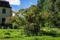 Japanischer Ahorn Queen-Auguste-Victoria-Park (Umkirch) jm30908.jpg