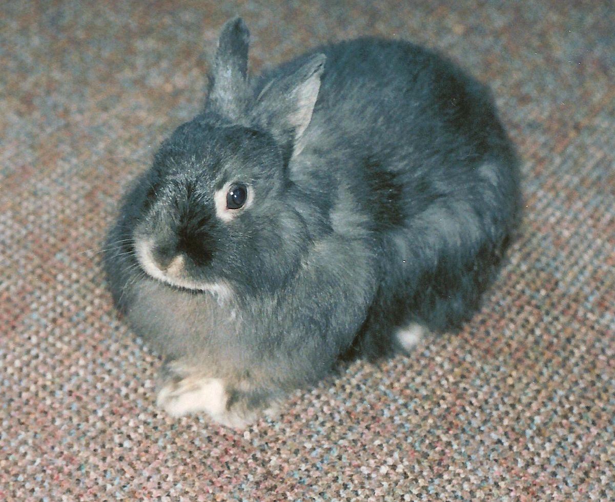 jersey wooly wikipedia