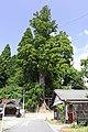 Jogan-Sugi (Cryptomeria japonica), Sugimoto-cho Toyota 2019.jpg