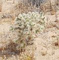 Joshua Tree National Park - Cholla Cactus (Cylindropuntia bigelovii) - 4.JPG