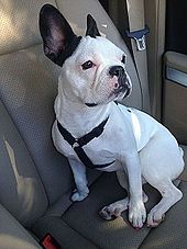 french bulldog wiki french bulldog wikipedia the free encyclopedia 9090
