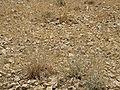 Judean Desert IMG 1805.JPG
