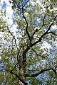 Juglans nigra (Black Walnut) 1181*E (37274340500).jpg