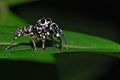 Jumping Spider (Salticidae) (8097483090).jpg