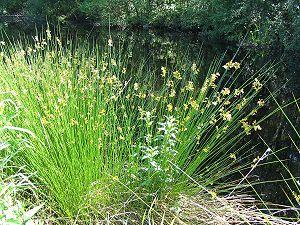 Juncaceae - Juncus effusus